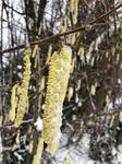 frozen catkins hanging from the trees